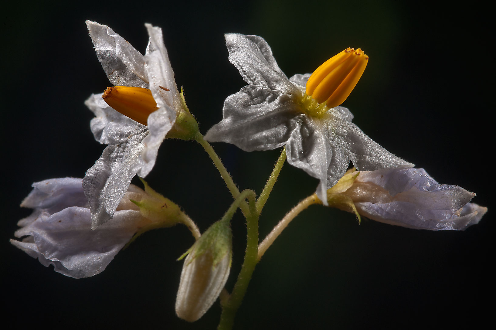 Solanum (nightshade) flowers in Lick Creek Park. College Station, Texas