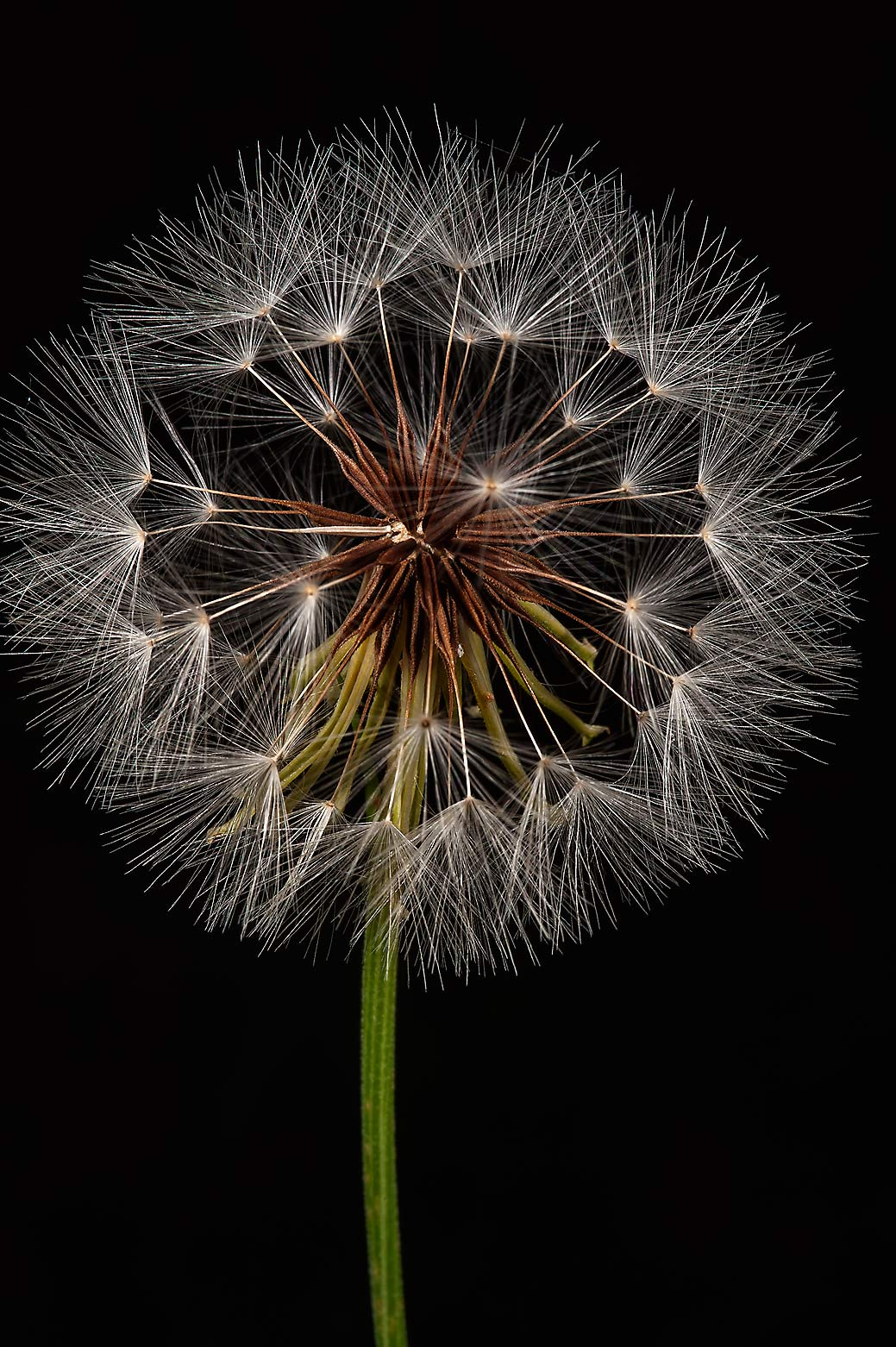 Seed head of Texas dandelion in Lick Creek Park. College Station, Texas