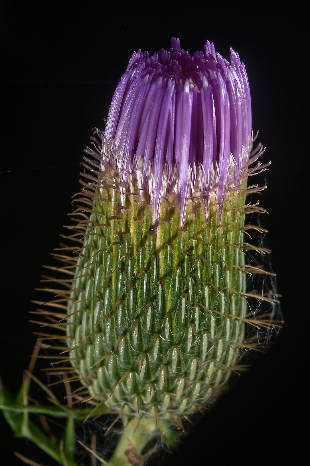 Flower bud of summer thistle in Lick Creek Park. College Station, Texas