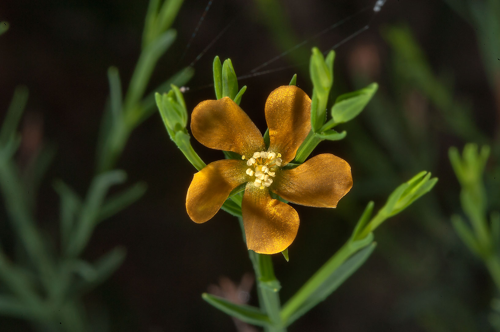 Nits-and-lice (Hypericum drummondii) in Lick Creek Park. College Station, Texas