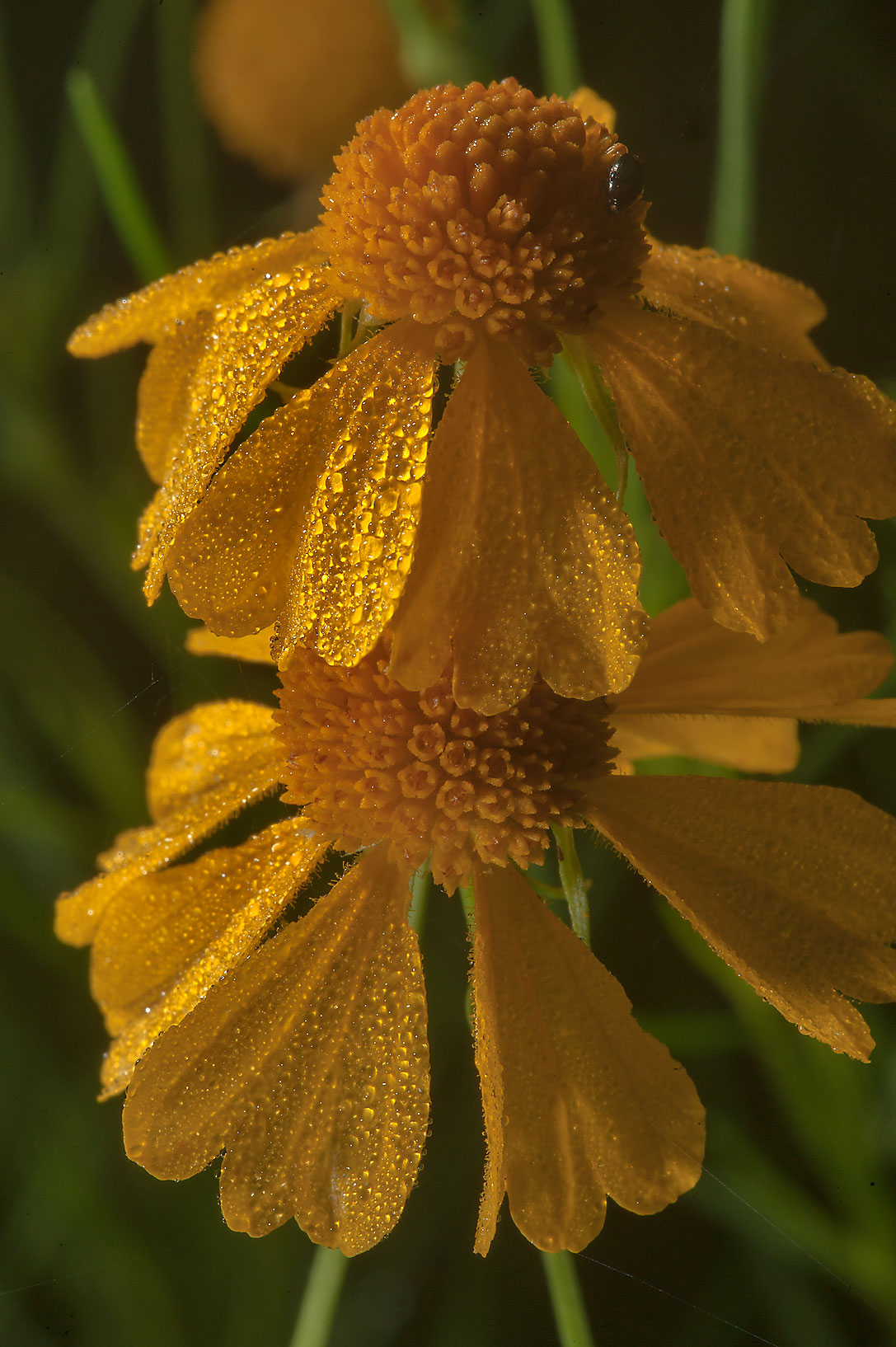 Flowers of sneezeweed (Helenium amarum) in Lick Creek Park. College Station, Texas