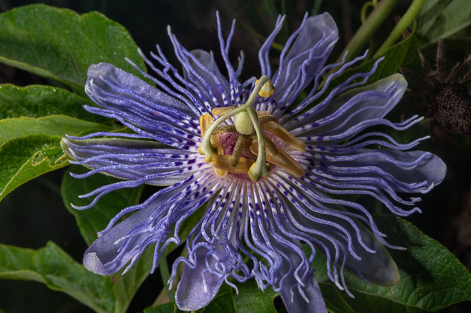 Blue passion flower (Passiflora) in Washington-on...State Historic Site. Washington, Texas