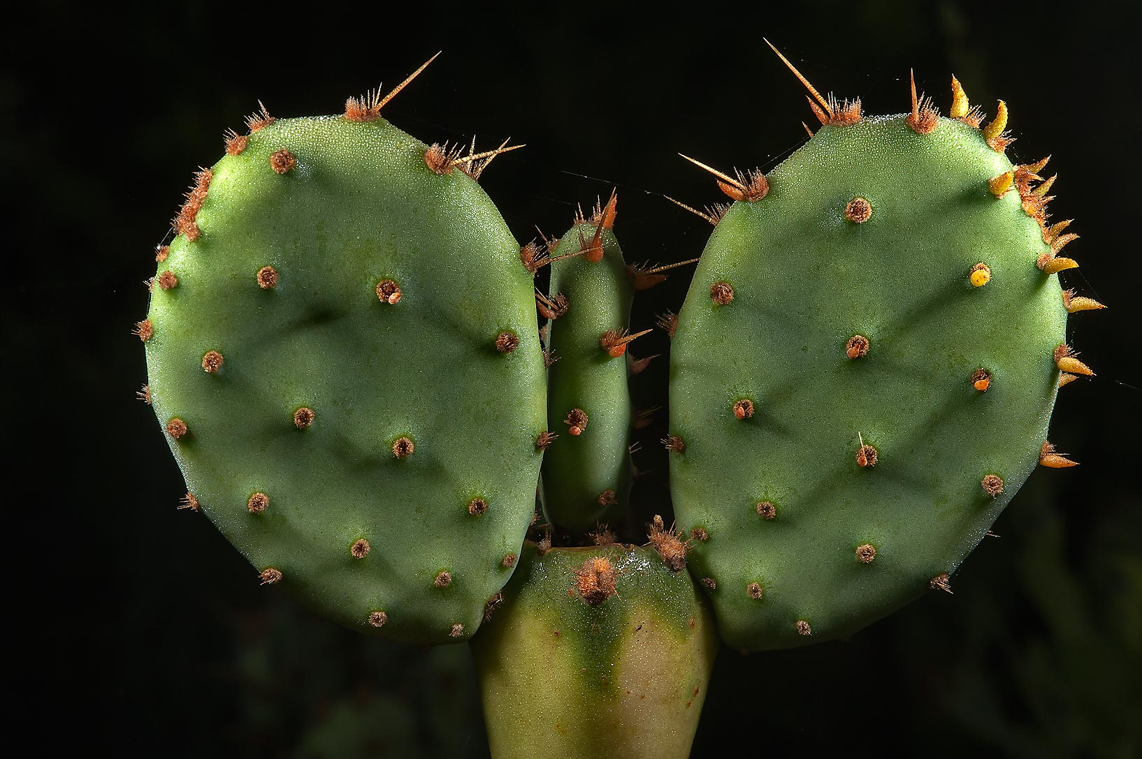Prickly peas (Opuntia cactus) in Washington-on...State Historic Site. Washington, Texas