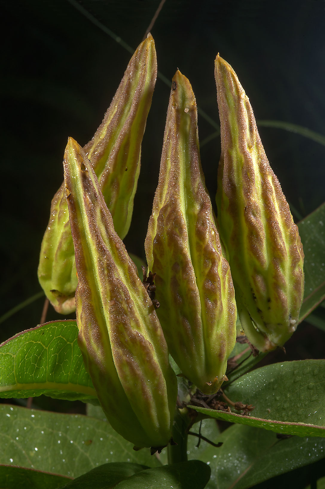 Fruits of green milkweed (Antelope horns...State Historic Site. Washington, Texas