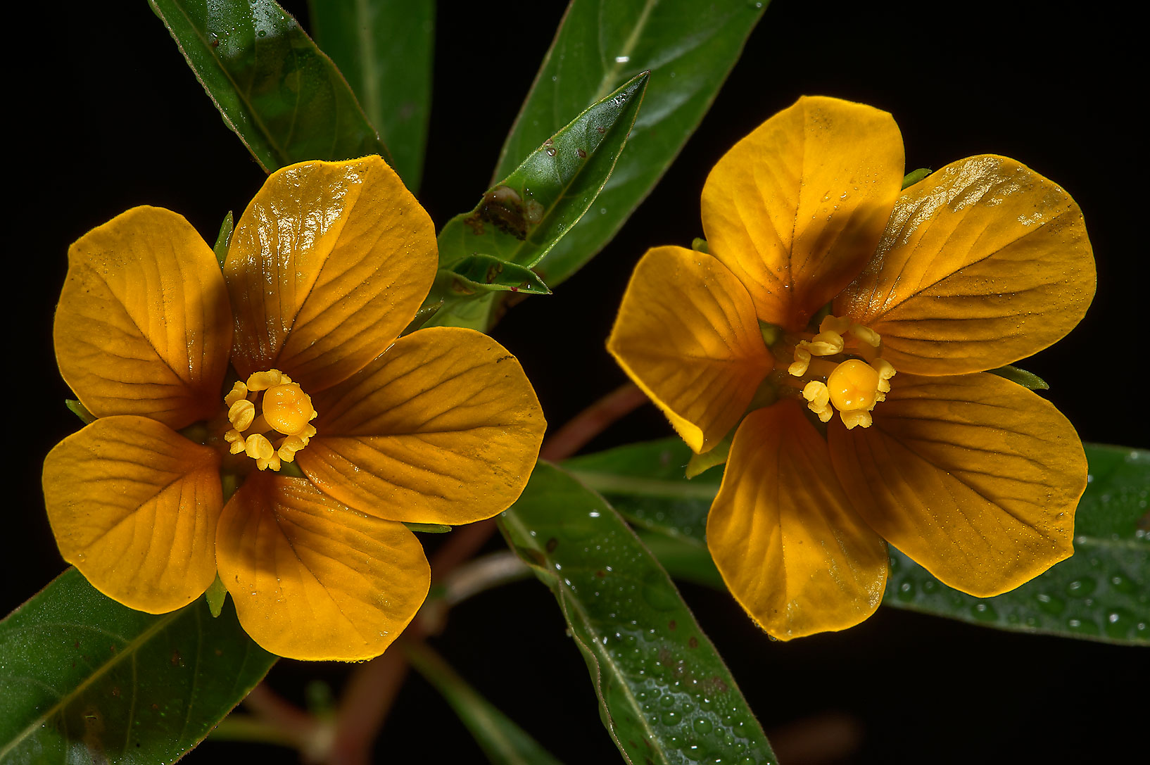 Flowers of floating primrose-willow (Ludwigia...State Historic Site. Washington, Texas