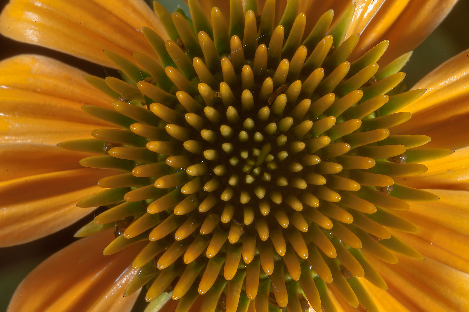 Yellow coneflower (Echinacea) in Antique Rose Emporium. Independence, Texas