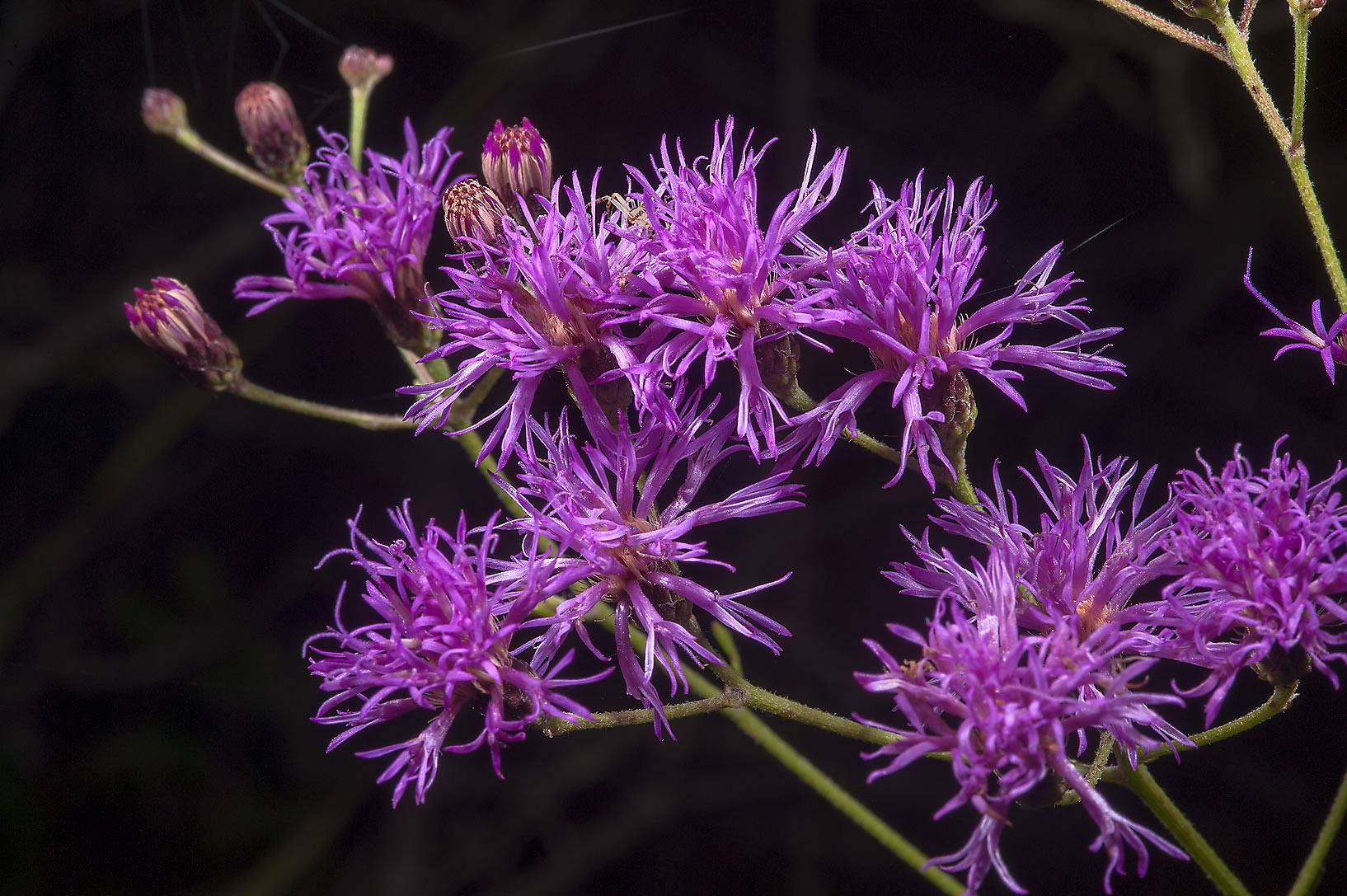 Western ironweed (Vernonia baldwini) in Lick Creek Park. College Station, Texas
