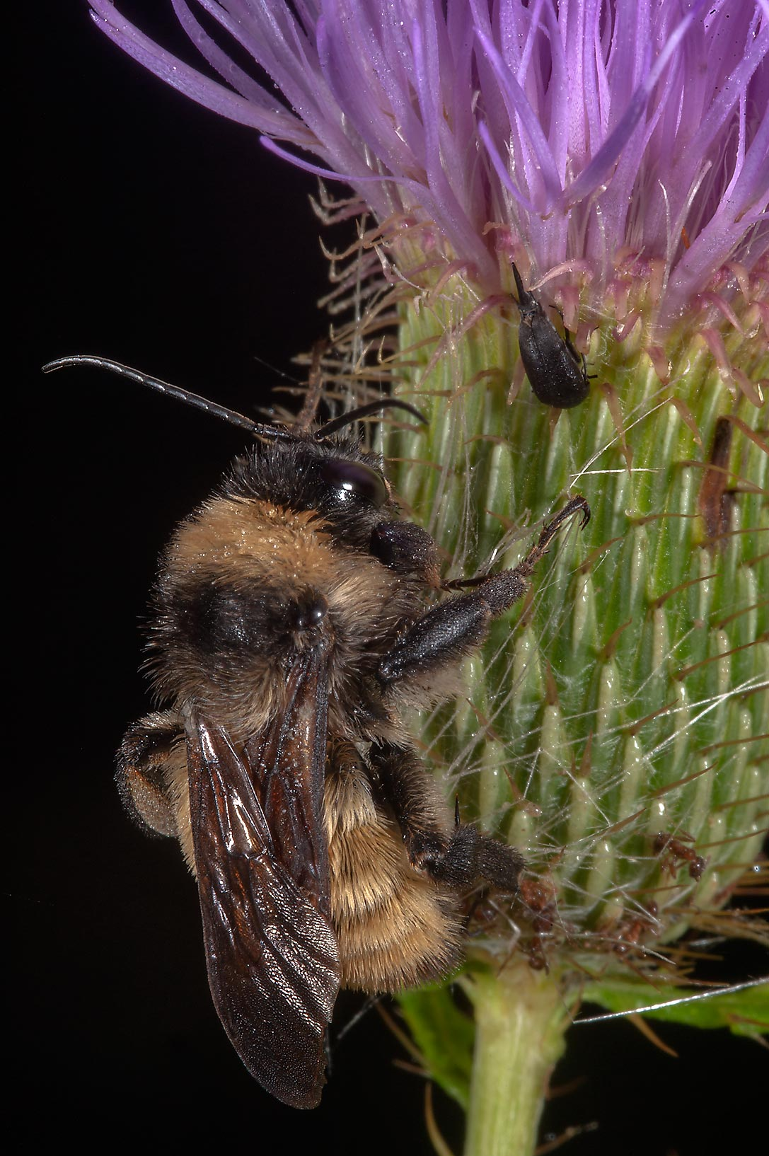 Bumblebee on thistle in Lick Creek Park. College Station, Texas
