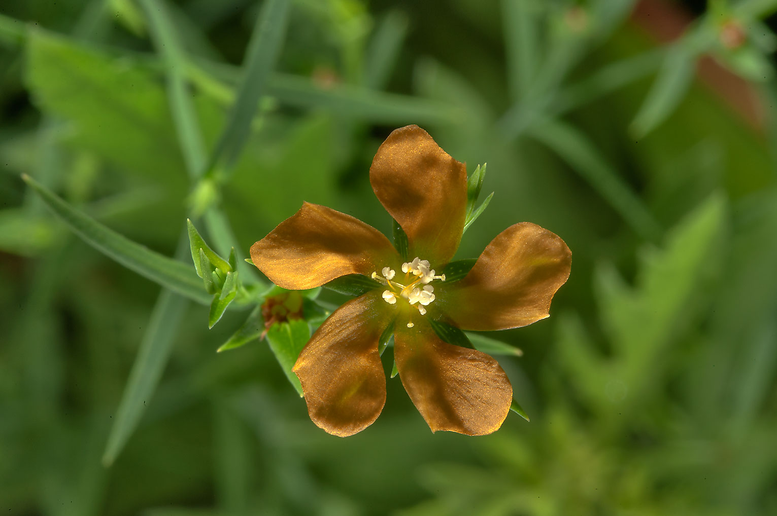 Flower of Nits-and-lice (Hypericum drummondii) in Lick Creek Park. College Station, Texas