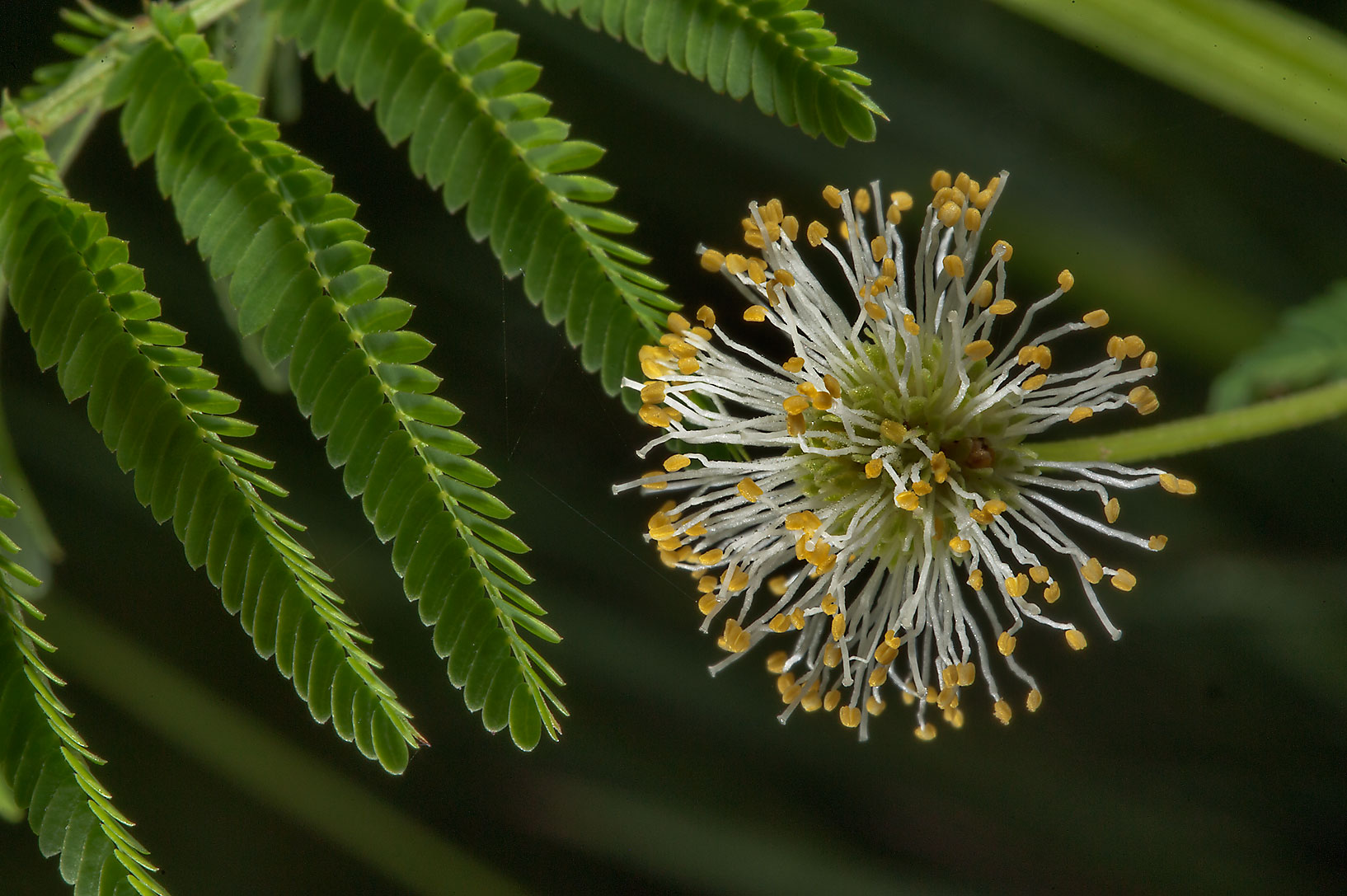 Mimosa with a small white flower found near a...Lemontree Park. College Station, Texas