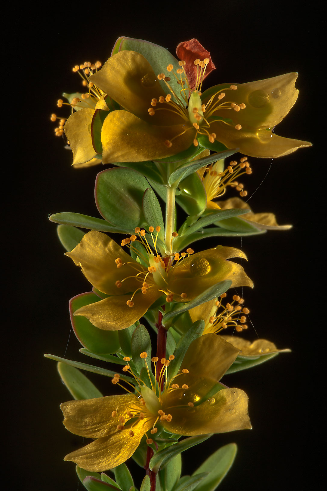 St. Andrew cross (Hypericum, Ascyrum hypericoides) in Lake Bryan Park. Bryan, Texas