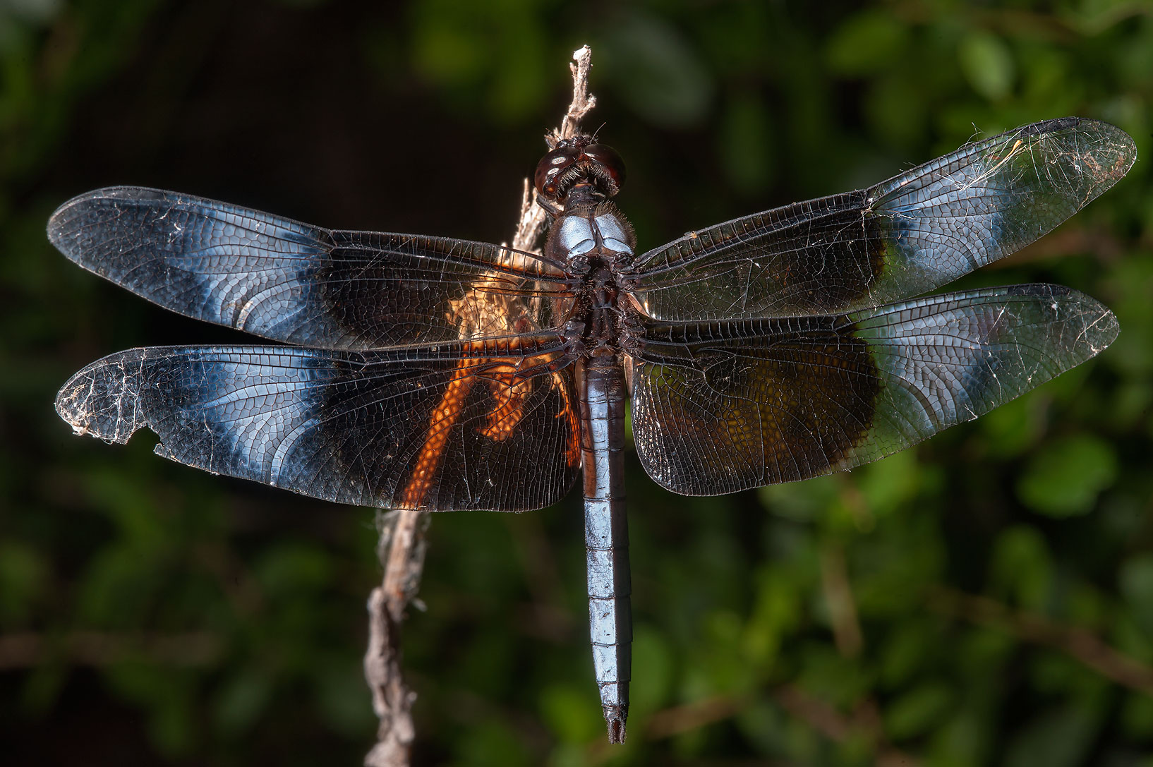 Widow Skimmer (Libellula luctuosa) dragonfly in Lake Bryan Park. Bryan, Texas