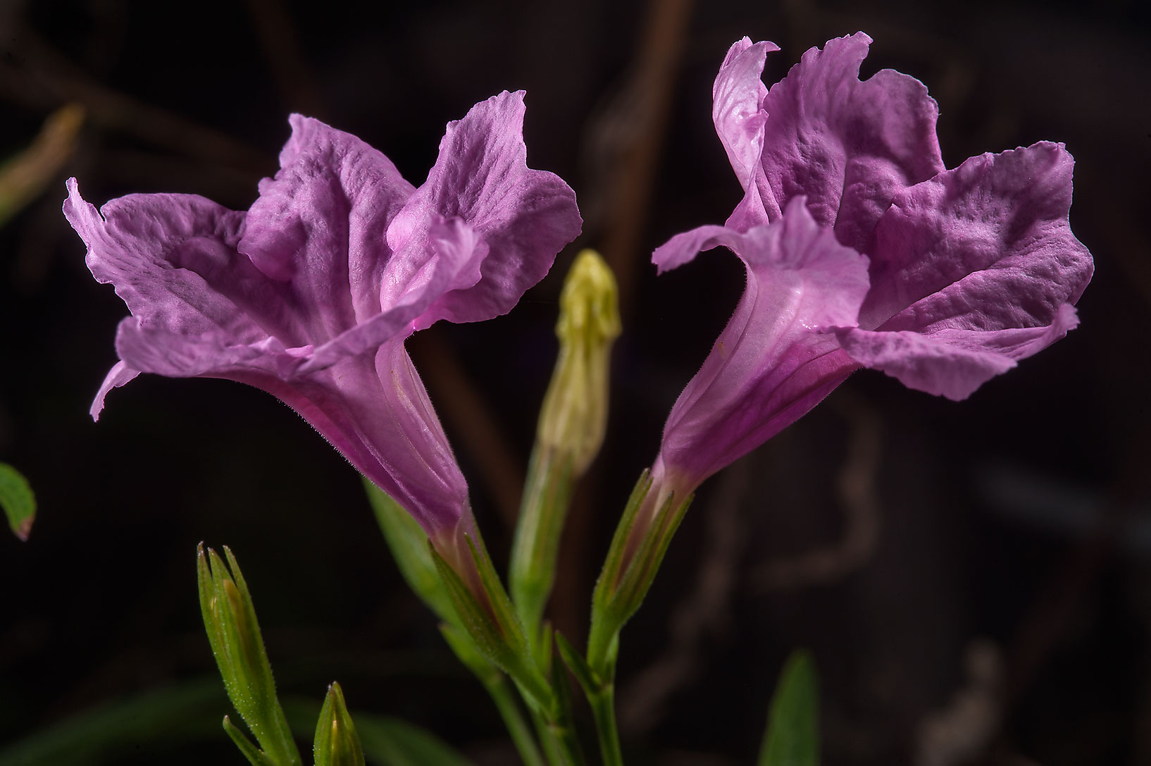 Pink species of Ruellia in TAMU Horticultural...M University. College Station, Texas