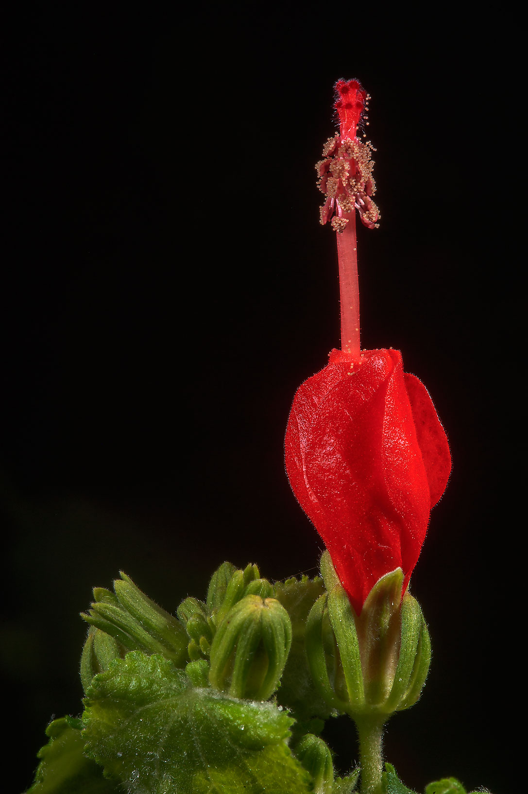 Turk's cap (Malvaviscus drummondii) in TAMU...M University. College Station, Texas