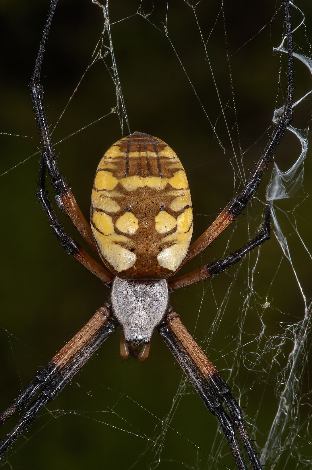 Garden spider (Argiope aurantia ) in a ranch at...Ferry Rd.. College Station, Texas