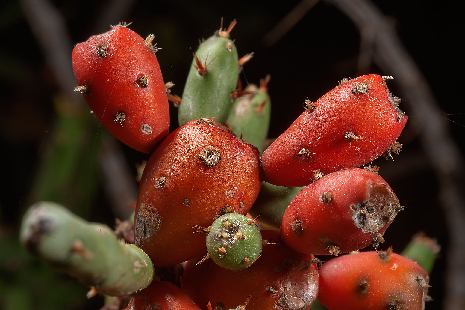 Fruits of Christmas cholla cactus (Tasajillo...Ferry Rd.. College Station, Texas