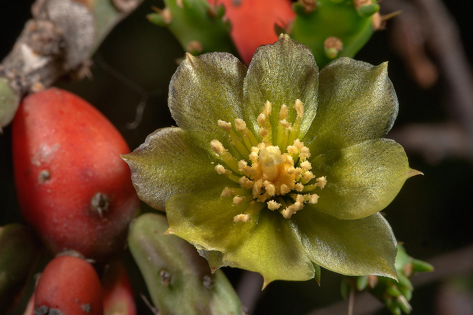 Flower and fruits of Christmas cholla cactus...Ferry Rd.. College Station, Texas