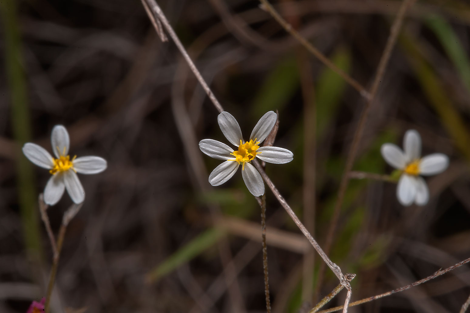 Smallhead doll's daisy (Boltonia diffusa) in a...Ferry Rd.. College Station, Texas