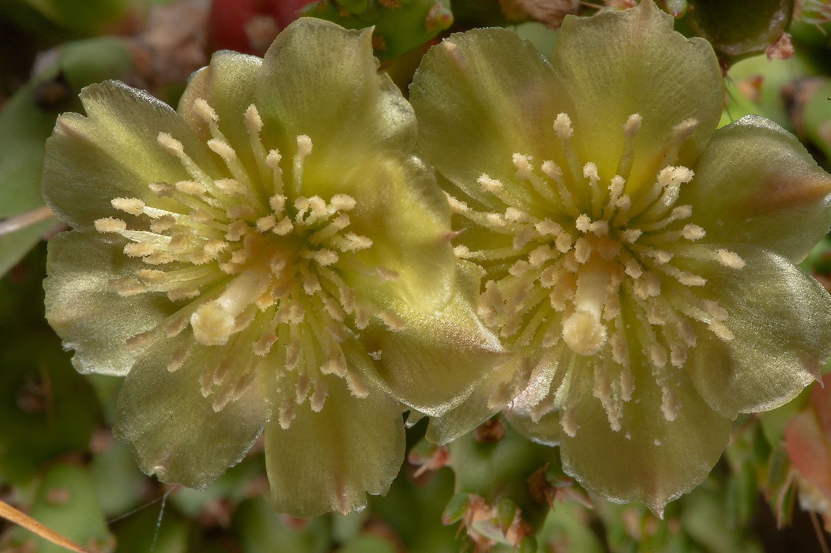 Flowers of Christmas cholla cactus (Tasajillo...Ferry Rd.. College Station, Texas