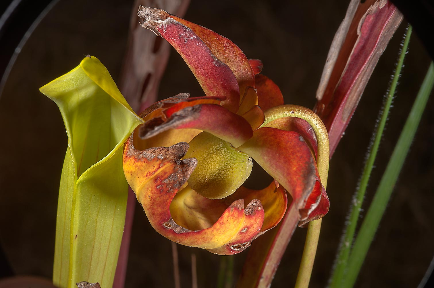 Fruit of pitcher plant (Sarracenia alata) near a...Native Plant Preserve. Warren, Texas
