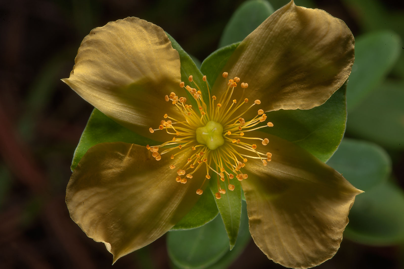 St. Peter's-wort (Hypericum crux-andreae) on...National Preserve. Kountze, Texas