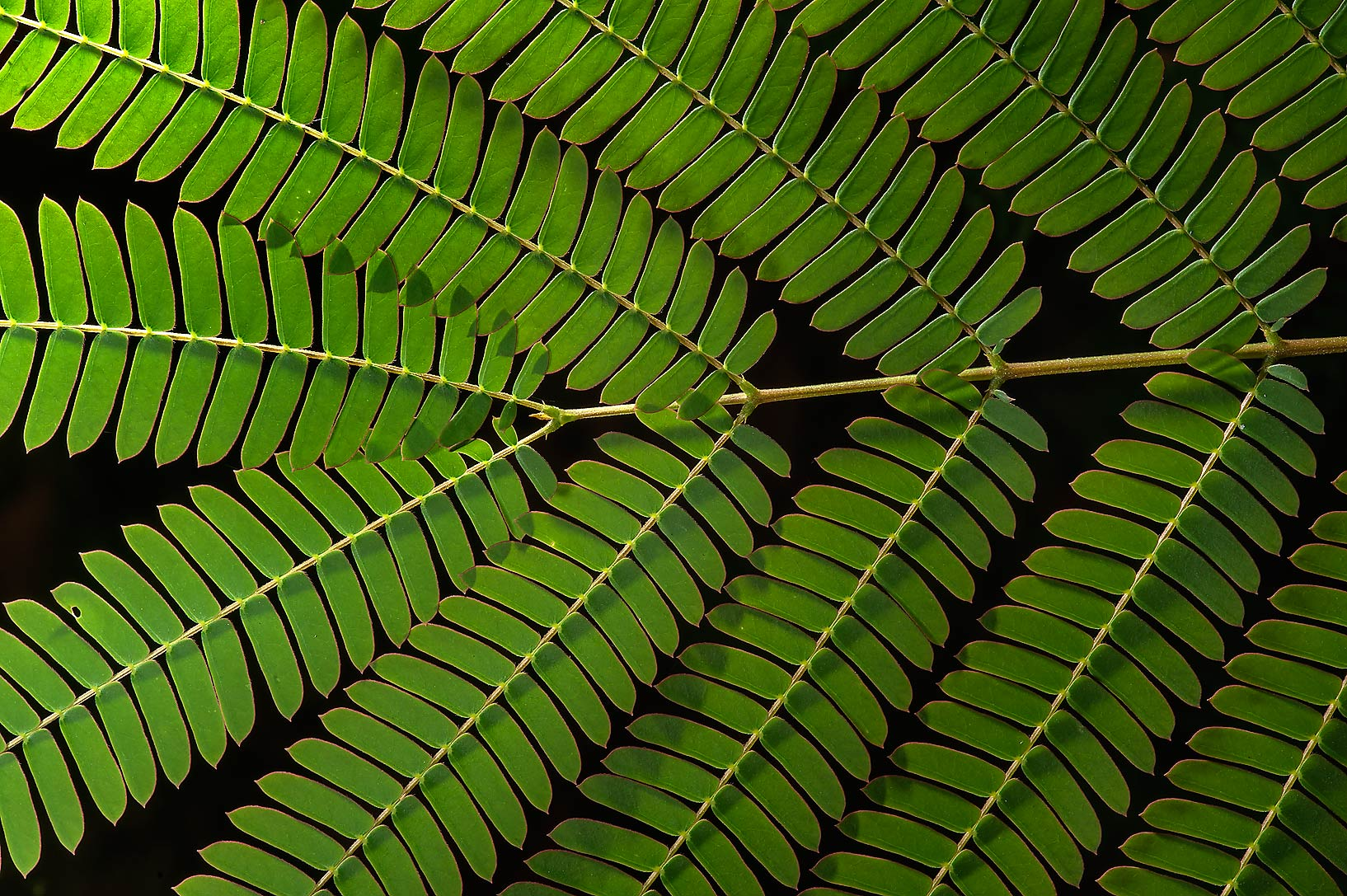 Back lit leaves of Albizia on Sundew Trail in Big...National Preserve. Kountze, Texas