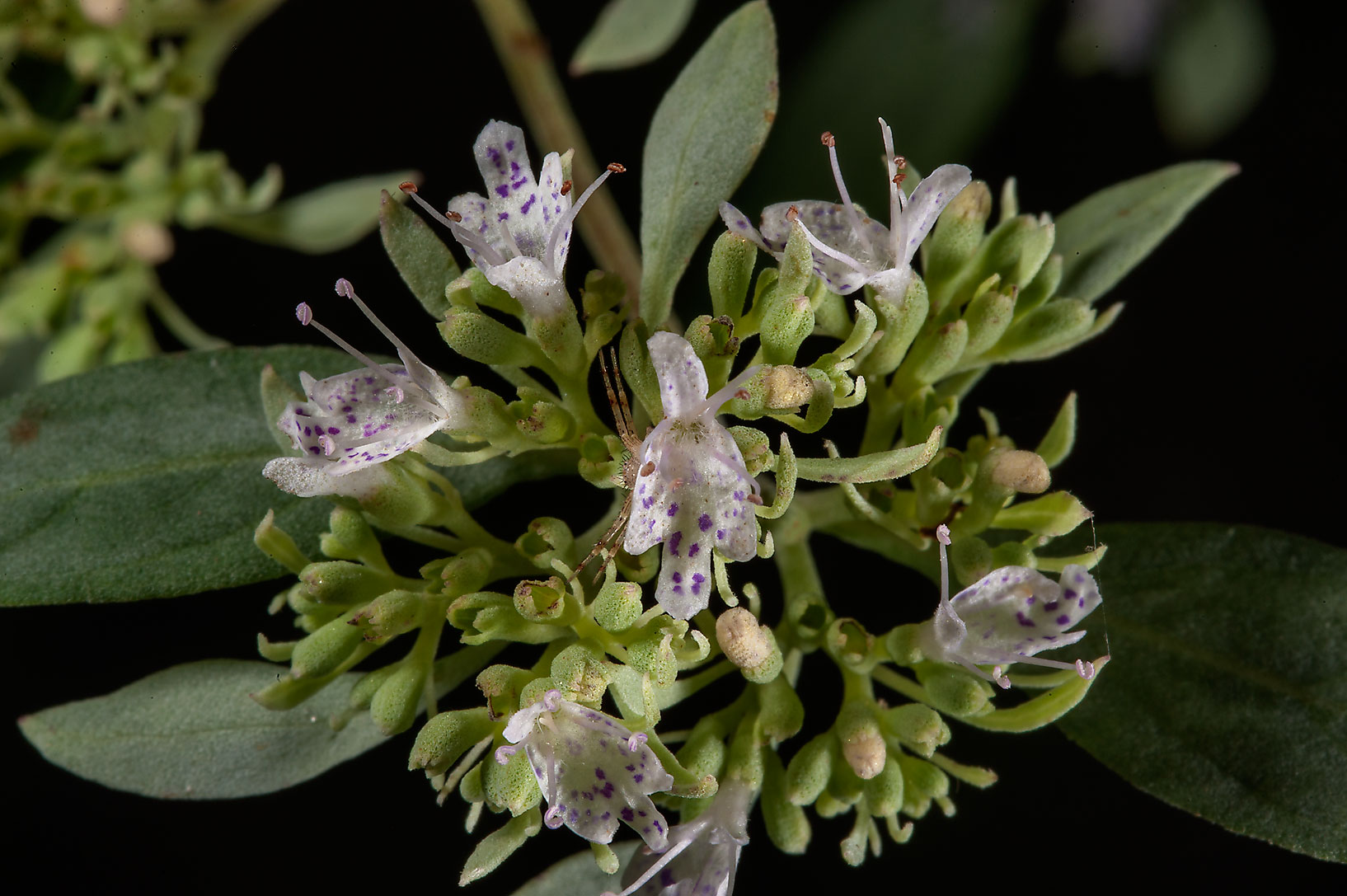 Mountain mint (Pycnanthemum) on Kirby Trail in...National Preserve. Kountze, Texas