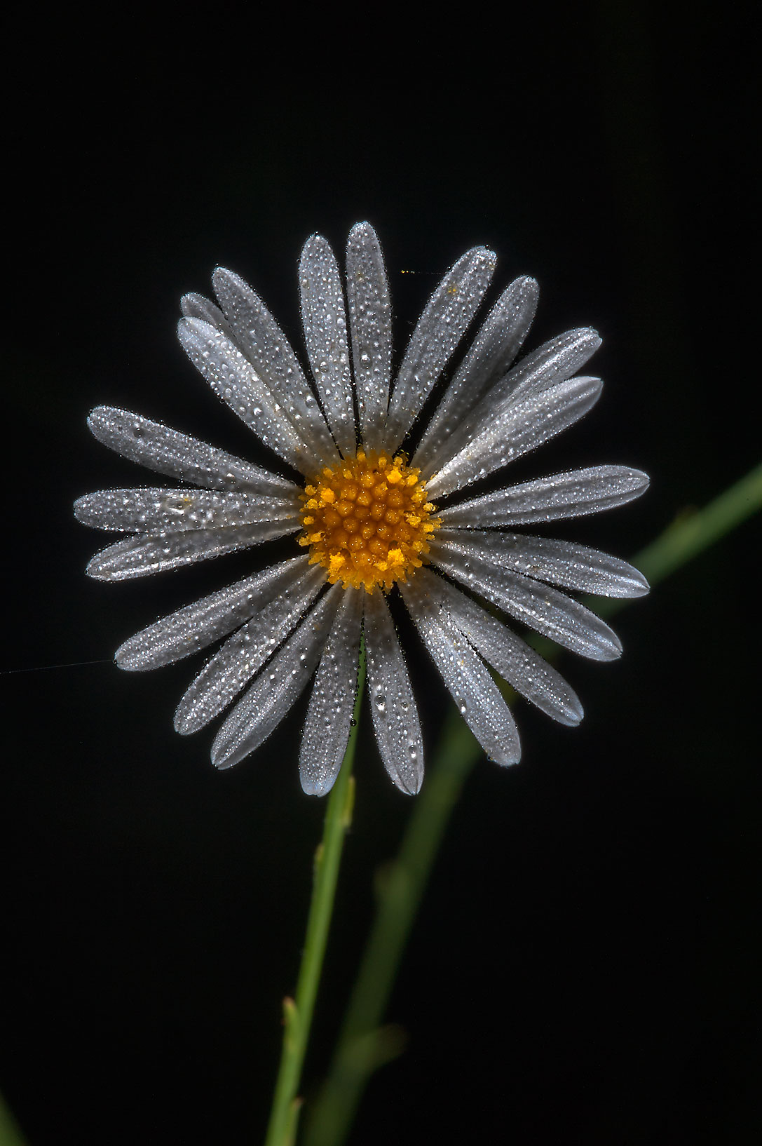 Smallhead doll's daisy (Boltonia diffusa) in Lick Creek Park. College Station, Texas