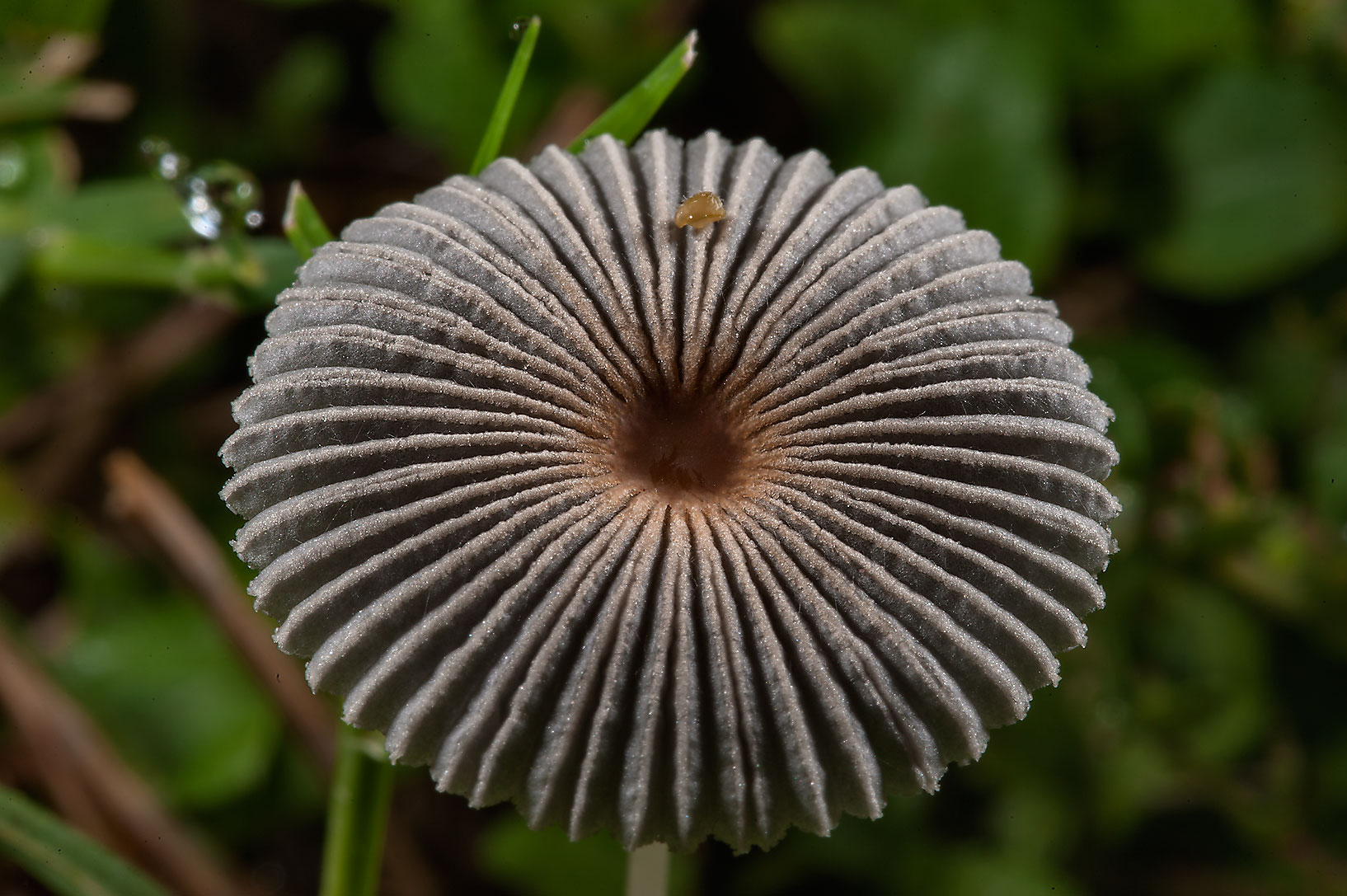 Small pleated inkcap mushroom (Parasola...Central Park. College Station, Texas