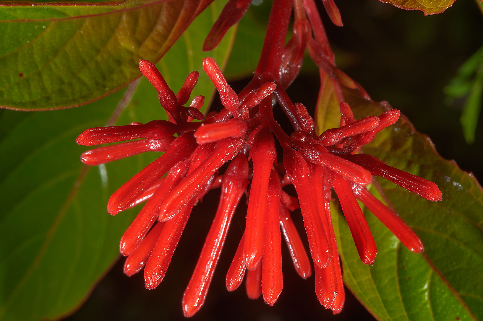 Firecracker Shrub (Mexican Firebush, Hamelia...M University. College Station, Texas