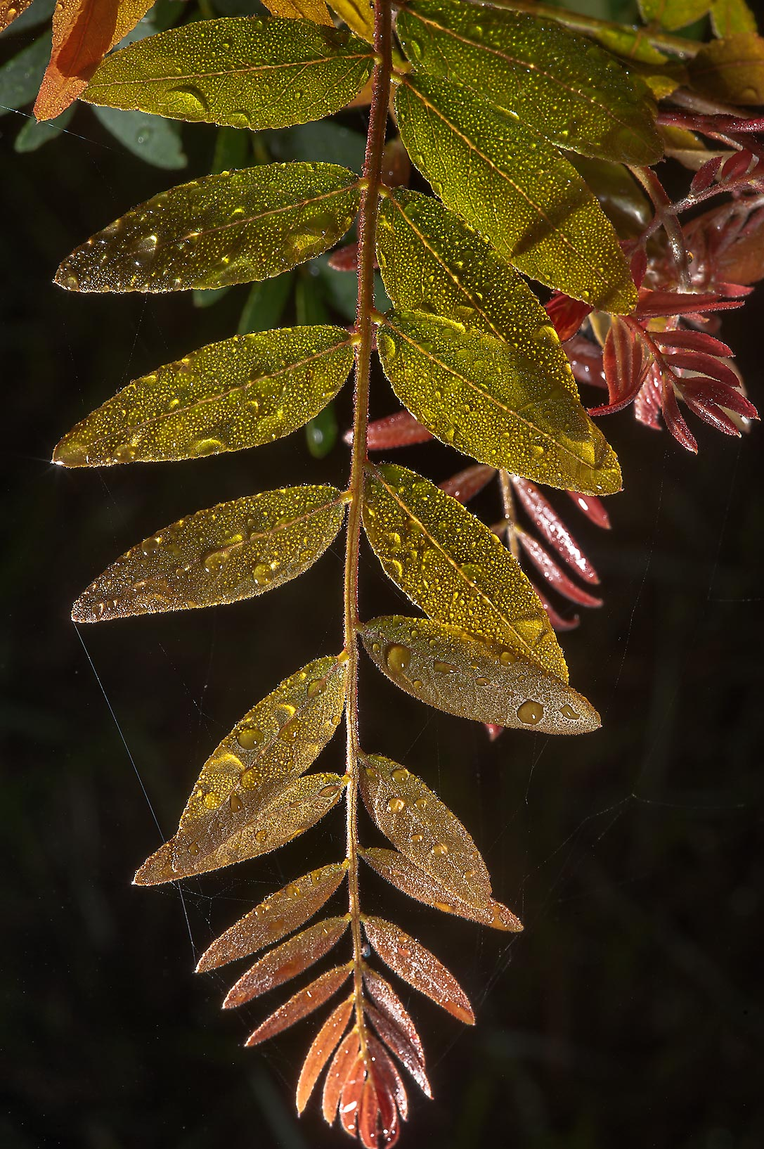 Young leaves of honey locust (Gleditsia...Hudson Trail. College Station, Texas