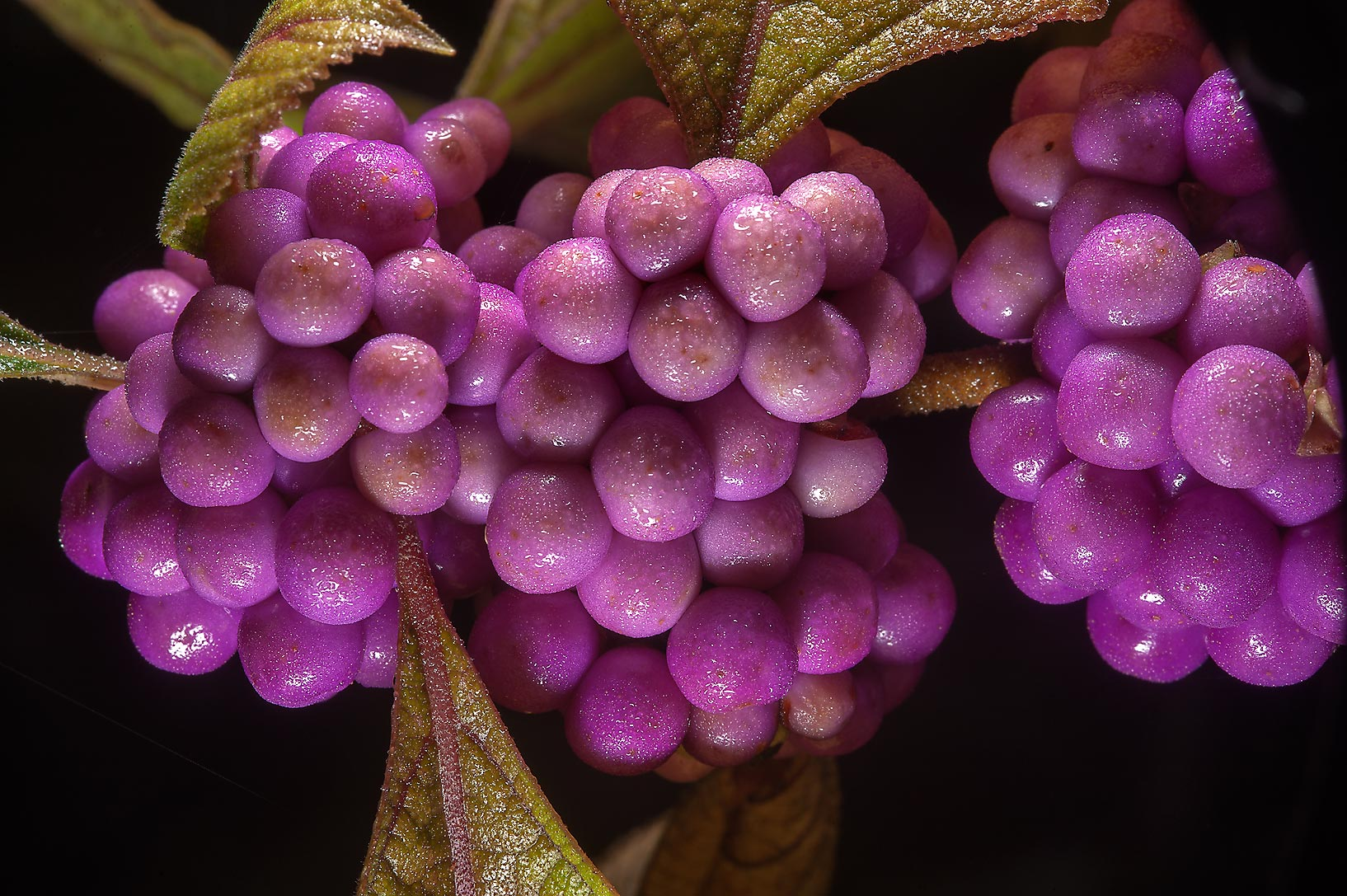 Fruits of beautyberry (Callicarpa americana) on Park Hudson Trail. College Station, Texas