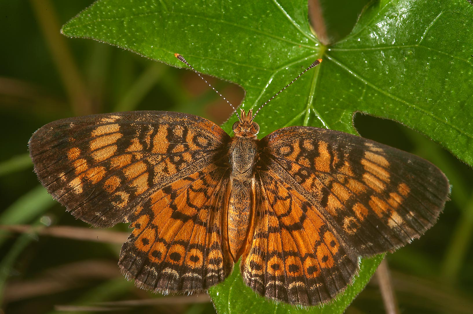 Speckled orange butterfly in David E. Schob...Ashburn St.. College Station, Texas