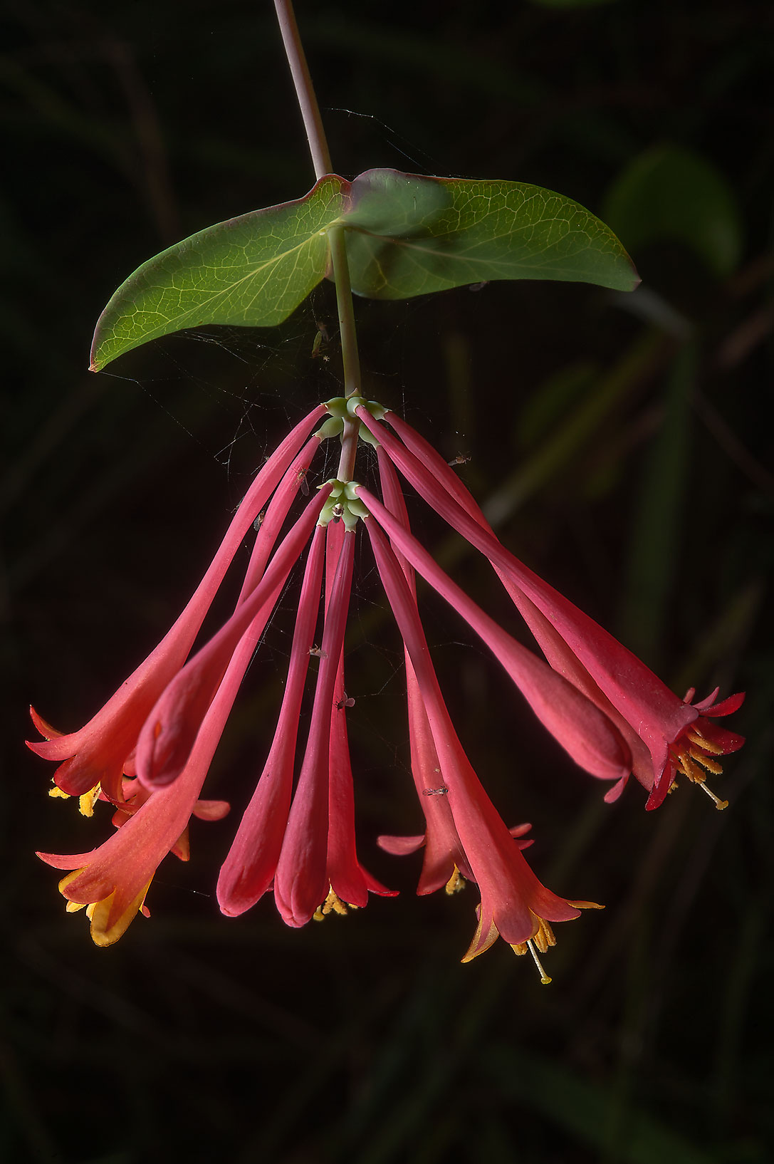 Coral honeysuckle (Lonicera sempervirens) in...Ashburn St.. College Station, Texas