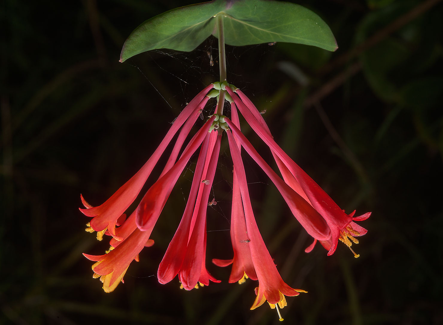 Flowers of coral honeysuckle (Lonicera...Ashburn St.. College Station, Texas