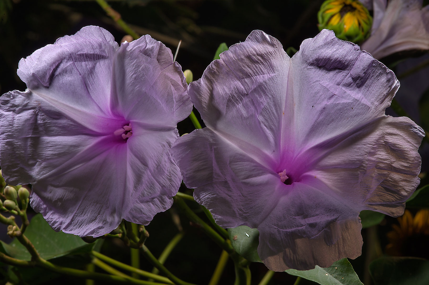 Flowers of Bush Morning Glory (Ipomoea carnea...M University. College Station, Texas
