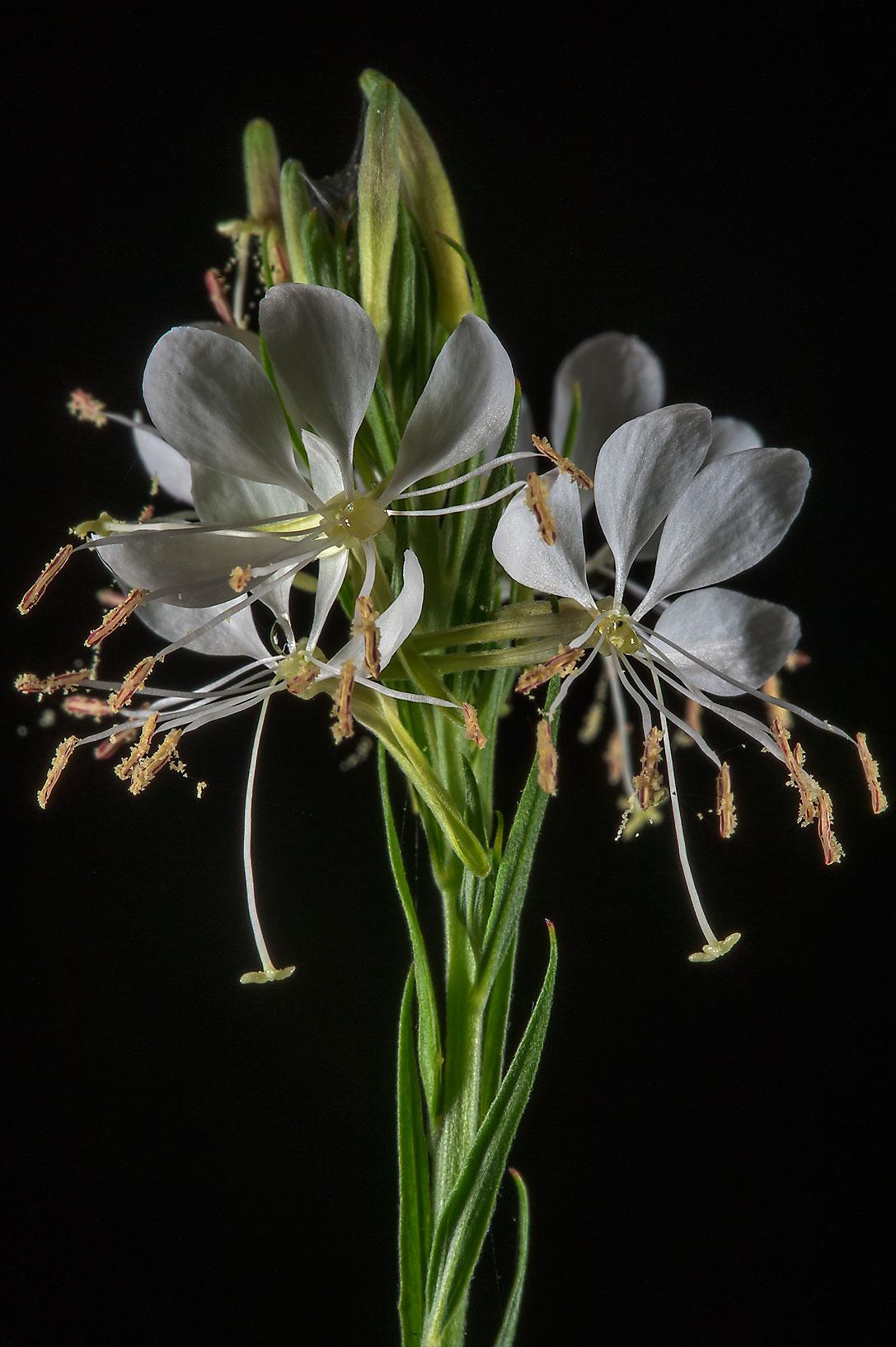 Photo 1477 17 White Gaura Flowers In Bee Creek Park College