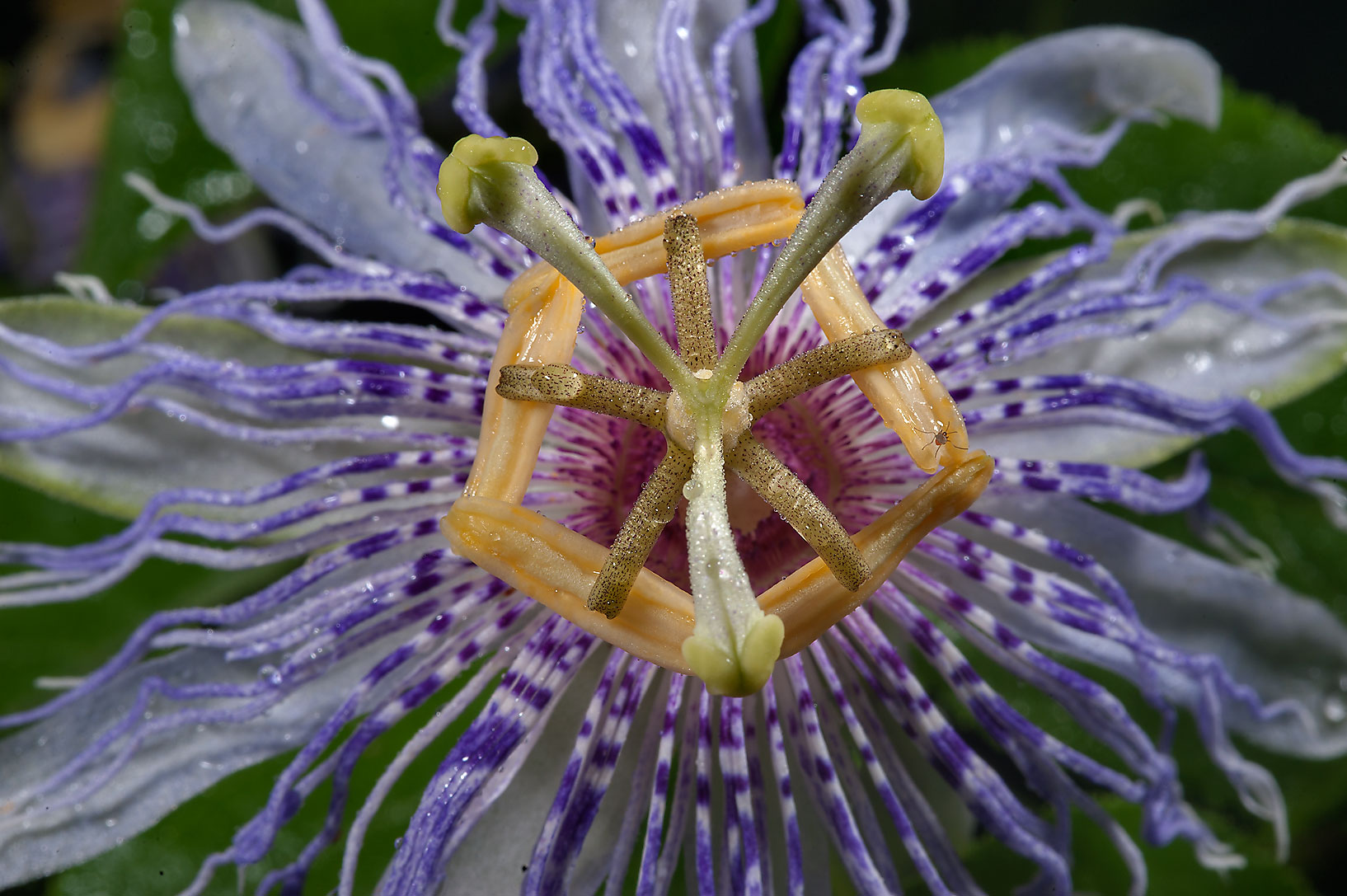 Close up of passion flower (Passiflora) on Park Hudson Trail. College Station, Texas