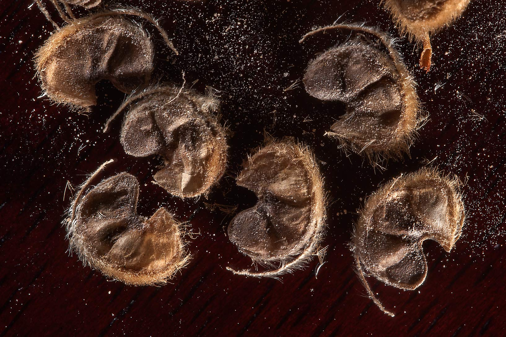 Close up of seeds of Abutilon figarianum...Al Sham St. in West Bay. Doha, Qatar