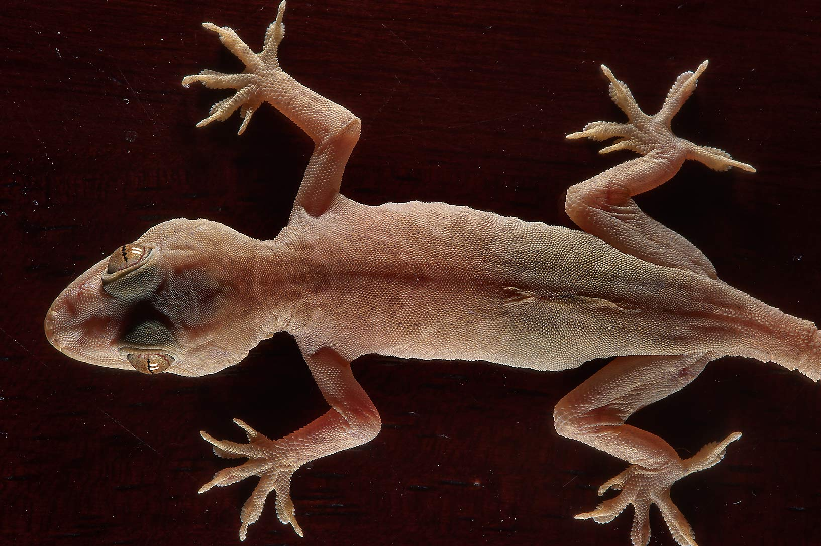 Yellow-bellied House Gecko (Hemidactylus...Thani Museum near Al-Shahaniya. Qatar