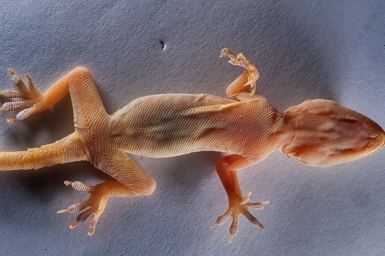 Ventral view of yellow-bellied House Gecko (Hemidactylus flaviviridis). Qatar