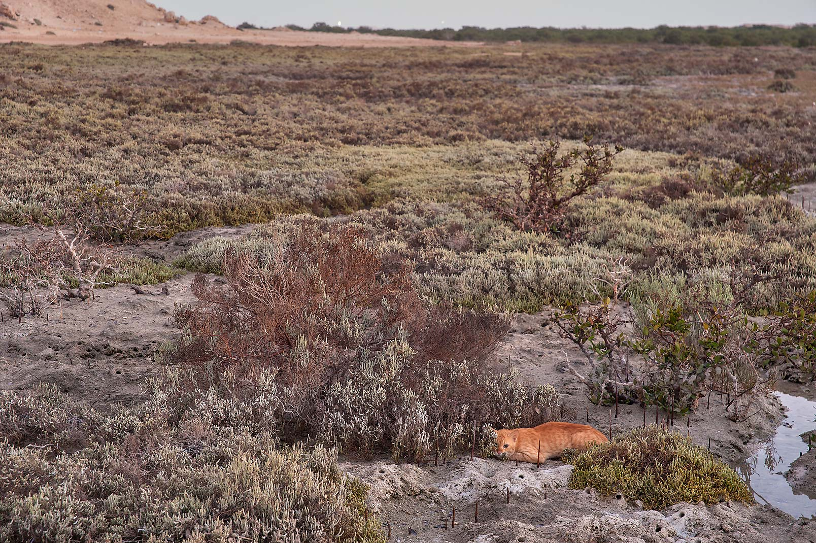 Brown cat sleeping in salt marsh on Purple Island (Jazirat Bin Ghanim). Al Khor, Qatar