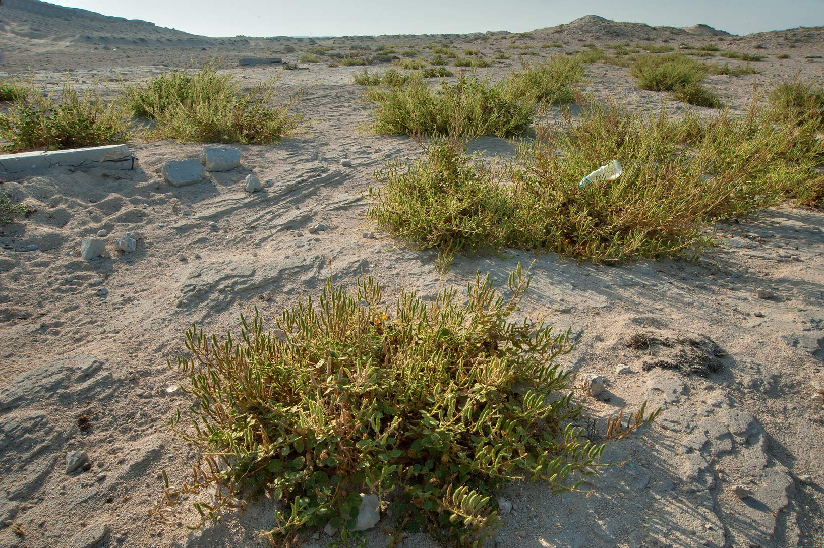 Plants of Cleome noeana growing on rocky terrain near Fuwairit. Northern Qatar
