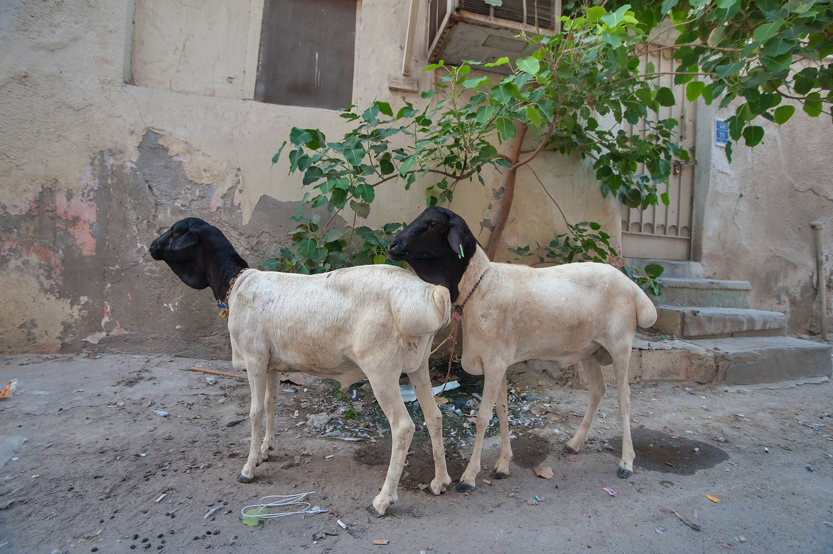 Black headed goats for Feast of the Sacrifice (Eid al-Adha) in Musheirib area. Doha, Qatar