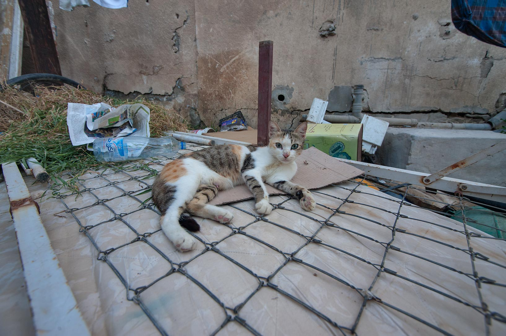 Cat resting on a bed frame in Musheirib area. Doha, Qatar