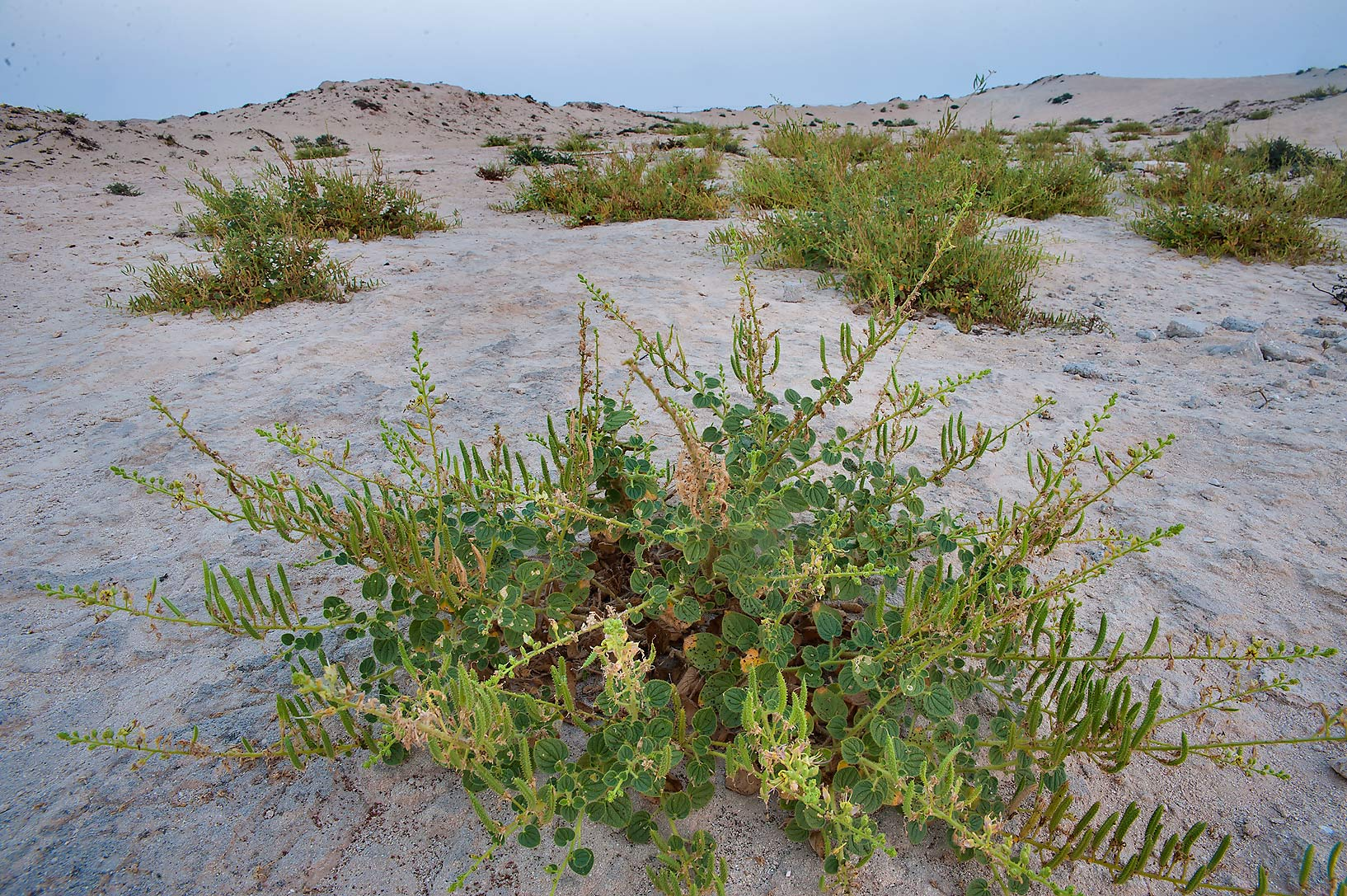 Plant of Cleome noeana with seeds growing between hills near Fuwairit. Northern Qatar