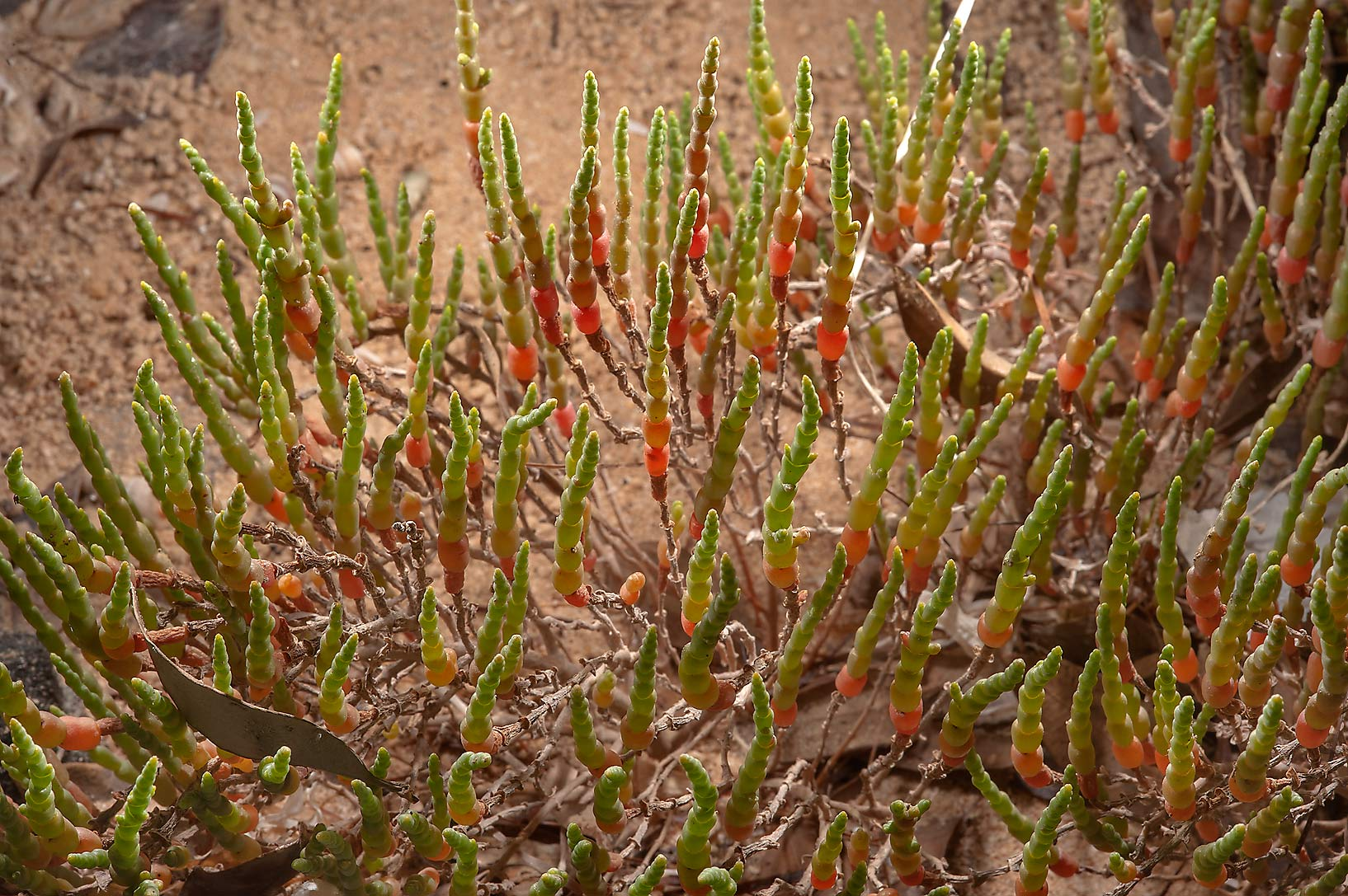 Glasswort (Salicornia europaea) on Purple Island (Jazirat Bin Ghanim). Al Khor, Qatar