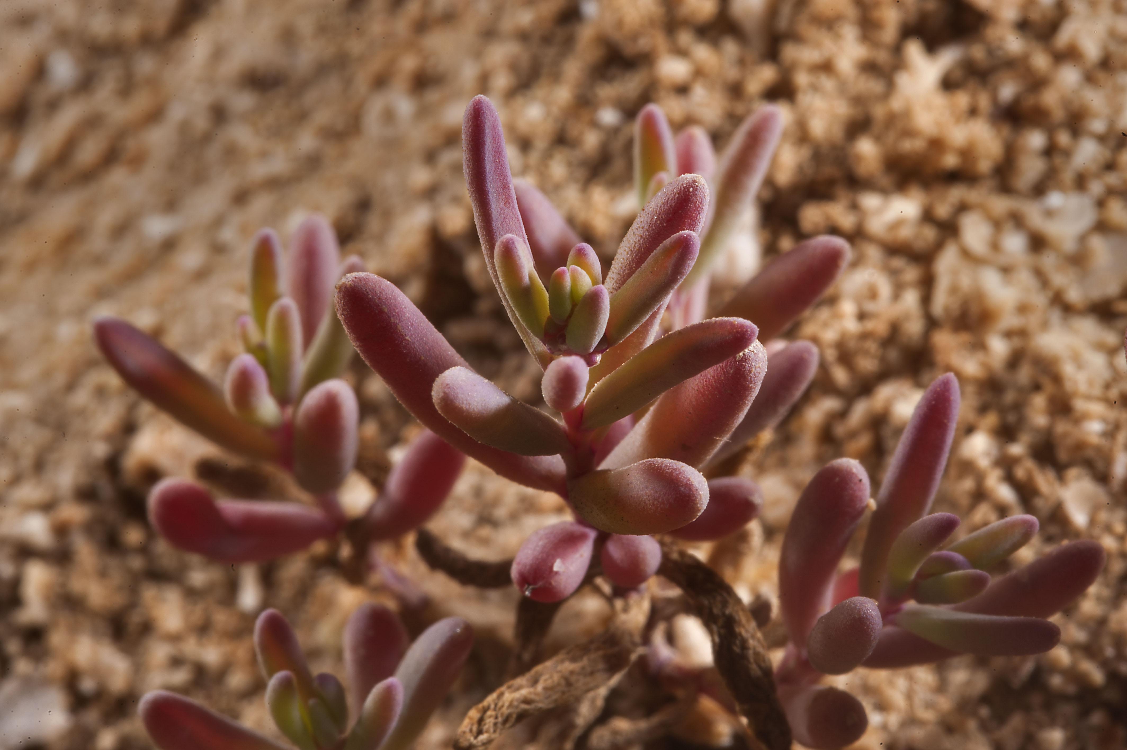 Salsola soda - Flora of Qatar