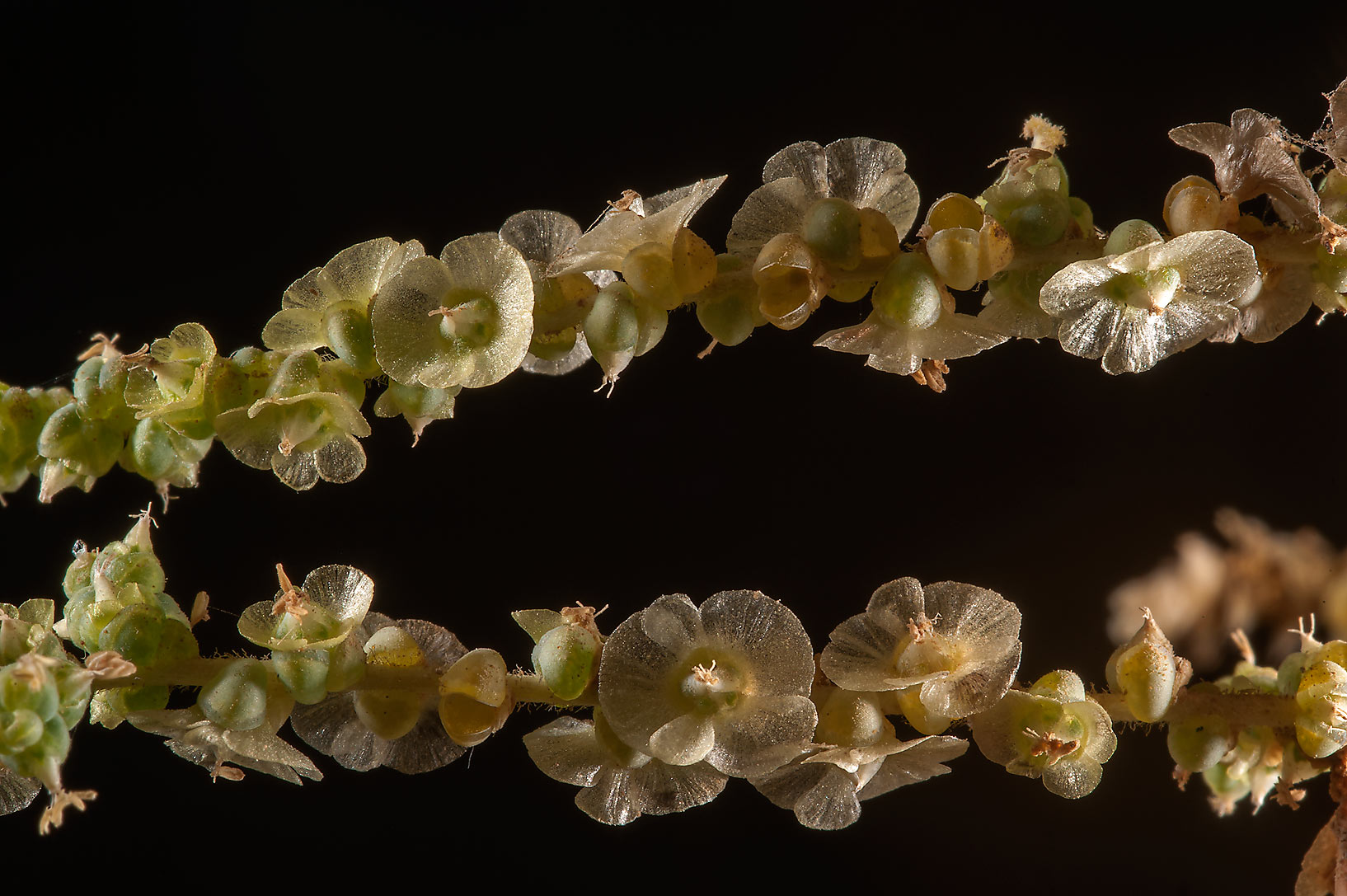 Winged fruits of saltwort (Salsola imbricata) in...of Ras Laffan Farms. Northern Qatar