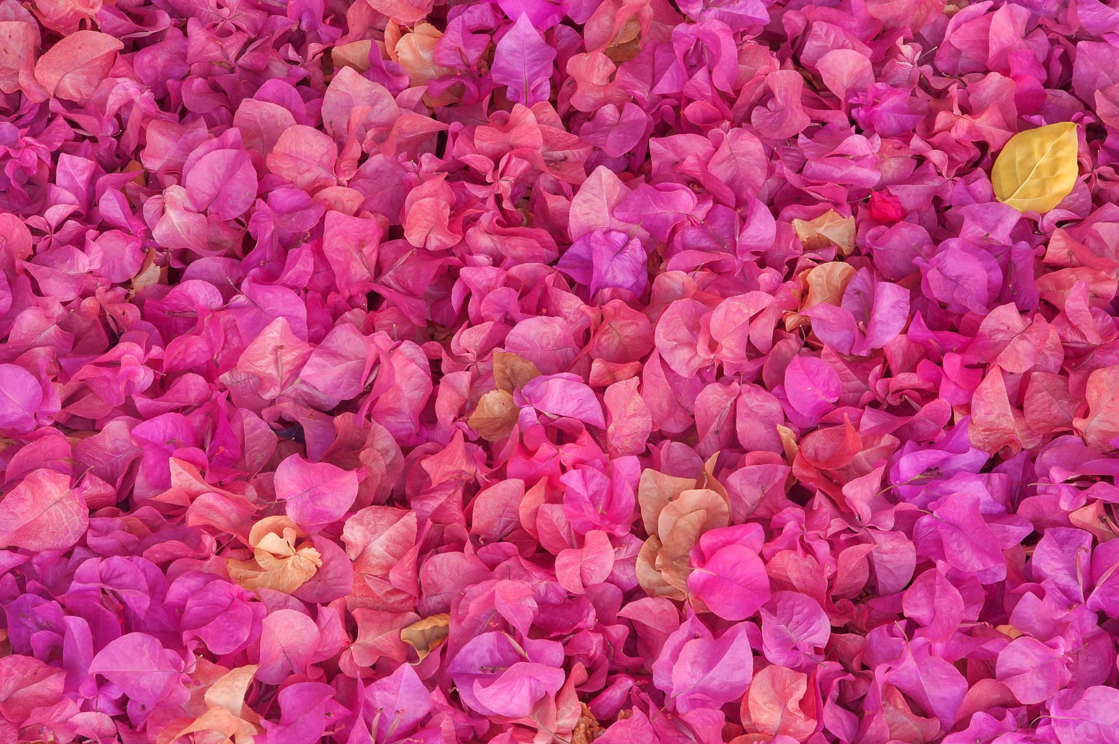 Dry petals of paperflower (Bougainvillea glabra...Istiqlal St. in West Bay. Doha, Qatar